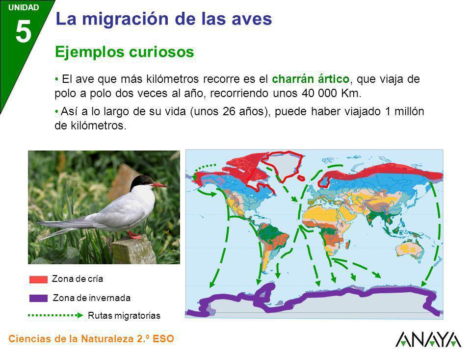UNIDAD 5 Ciencias de la Naturaleza 2.º ESO Ejemplos curiosos El ave que más kilómetros recorre es el charrán ártico, que viaja de polo a polo dos vece