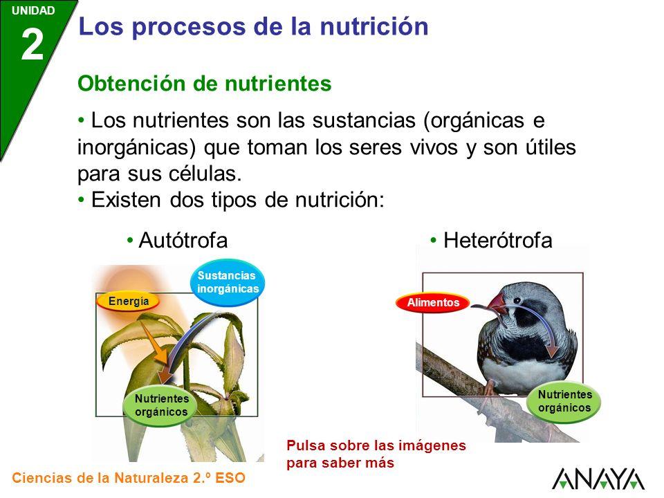 UNIDAD 2 Los procesos de la nutrición Ciencias de la Naturaleza 2.º ESO Nutrición autótrofa Es propia de organismos capaces de crear nutrientes orgánicos a partir de sustancias inorgánicas, tales como: Agua Sales minerales Dióxido de carbono