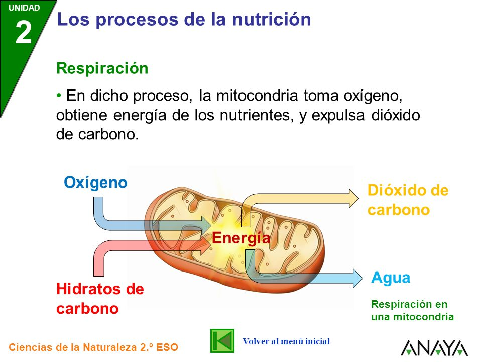 UNIDAD 2 Los procesos de la nutrición Ciencias de la Naturaleza 2.º ESO Respiración En dicho proceso, la mitocondria toma oxígeno, obtiene energía de