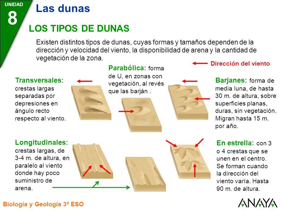 UNIDAD 8 Biología y Geología 3º ESO LOS TIPOS DE DUNAS Existen distintos tipos de dunas, cuyas formas y tamaños dependen de la dirección y velocidad d