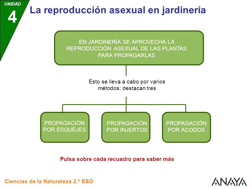 UNIDAD 4 Ciencias de la Naturaleza 2.º ESO La reproducción asexual en jardinería Consiste en cortar, de la planta progenitora, un trozo del tallo con yemas (un esqueje).