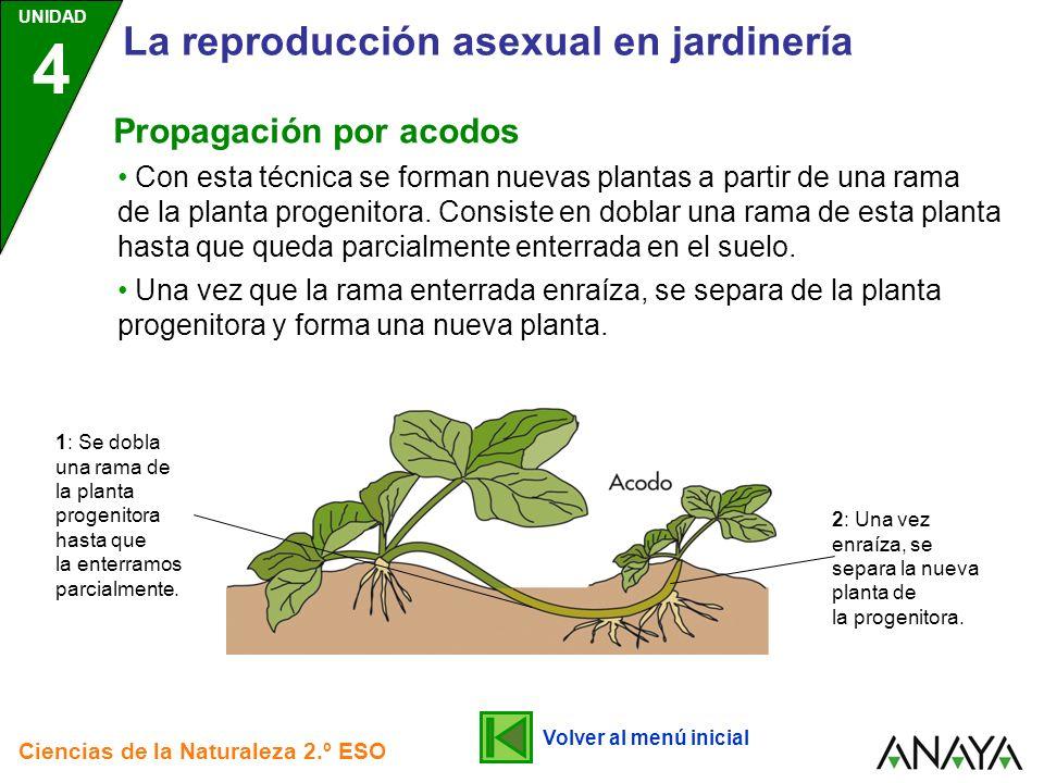 UNIDAD 4 Ciencias de la Naturaleza 2.º ESO La reproducción asexual en jardinería Con esta técnica se forman nuevas plantas a partir de una rama de la