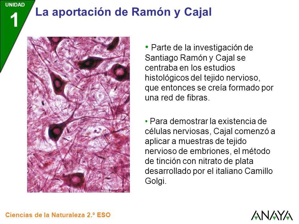 UNIDAD 1 Ciencias de la Naturaleza 2.º ESO La aportación de Ramón y Cajal El perfeccionamiento de la tinción con sales de plata permitió a Cajal identificar neuronas completas en sus preparaciones.
