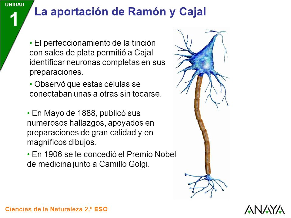 UNIDAD 1 Ciencias de la Naturaleza 2.º ESO La aportación de Ramón y Cajal El perfeccionamiento de la tinción con sales de plata permitió a Cajal ident