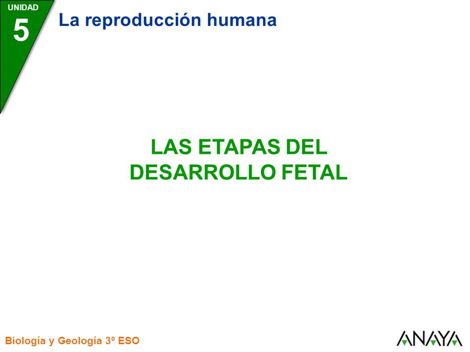 UNIDAD 5 La reproducción humana Biología y Geología 3º ESO LAS ETAPAS DEL DESARROLLO FETAL