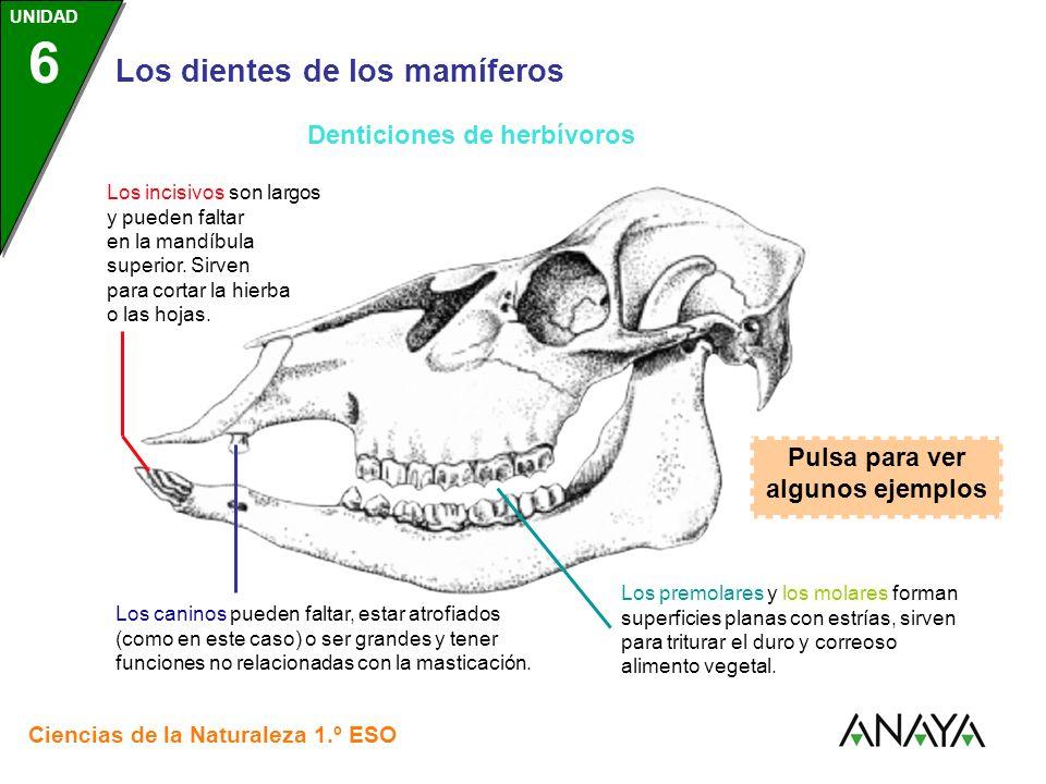 UNIDAD 3 Los dientes de los mamíferos Ciencias de la Naturaleza 1.º ESO UNIDAD 6 Denticiones de herbívoros Los incisivos son largos y pueden faltar en