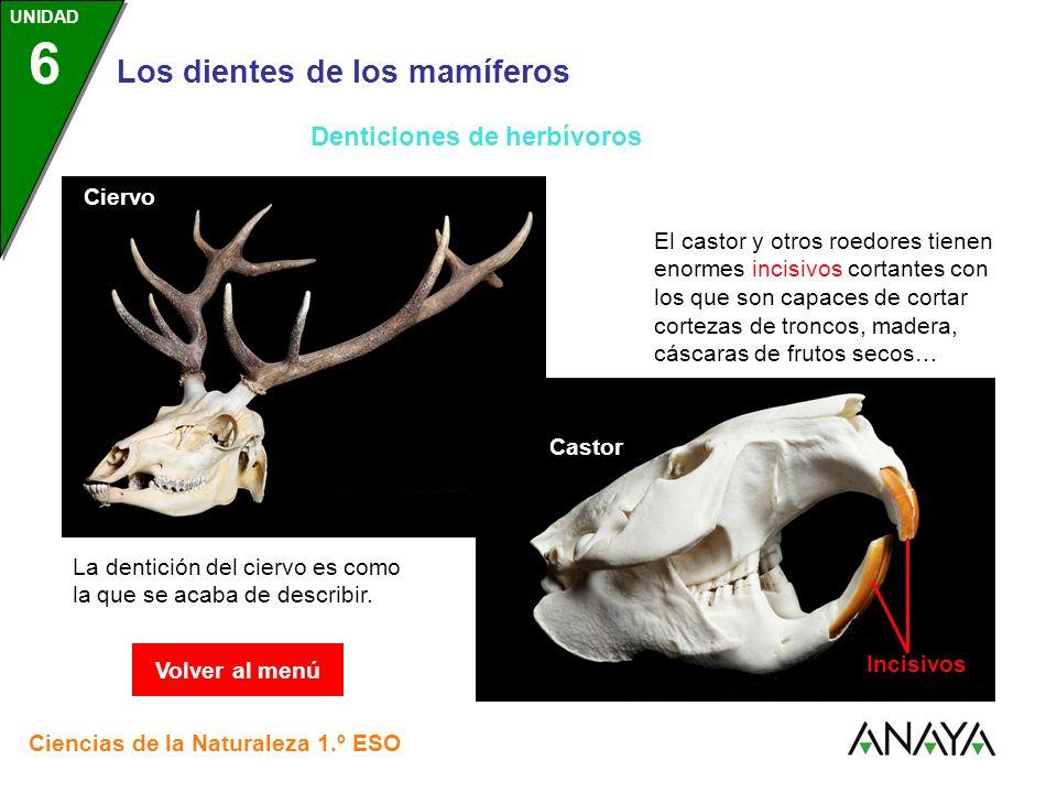 UNIDAD 3 Los dientes de los mamíferos Ciencias de la Naturaleza 1.º ESO UNIDAD 6 La dentición del ciervo es como la que se acaba de describir. Ciervo