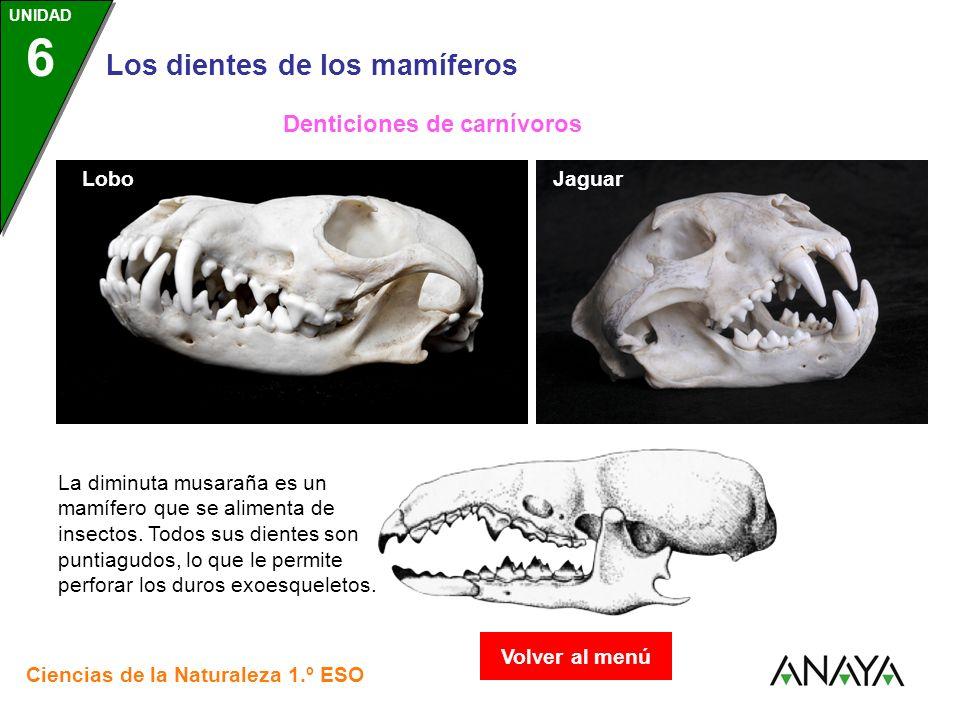 UNIDAD 3 Los dientes de los mamíferos Ciencias de la Naturaleza 1.º ESO UNIDAD 6 LoboJaguar Denticiones de carnívoros La diminuta musaraña es un mamíf