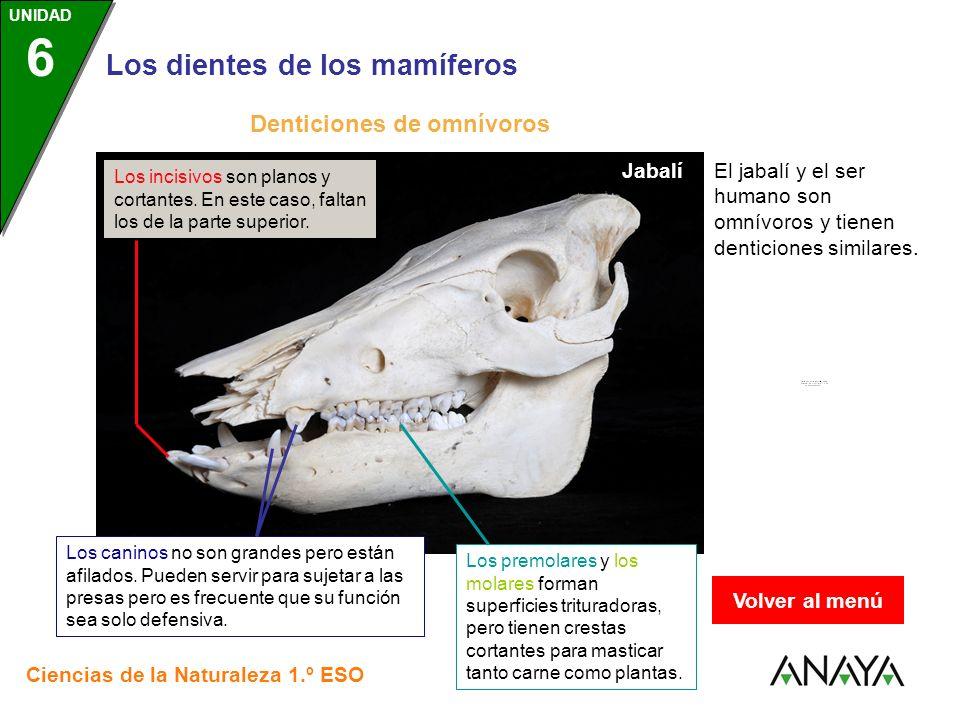 UNIDAD 3 Los dientes de los mamíferos Ciencias de la Naturaleza 1.º ESO UNIDAD 6 Jabalí Denticiones de omnívoros Los incisivos son planos y cortantes.