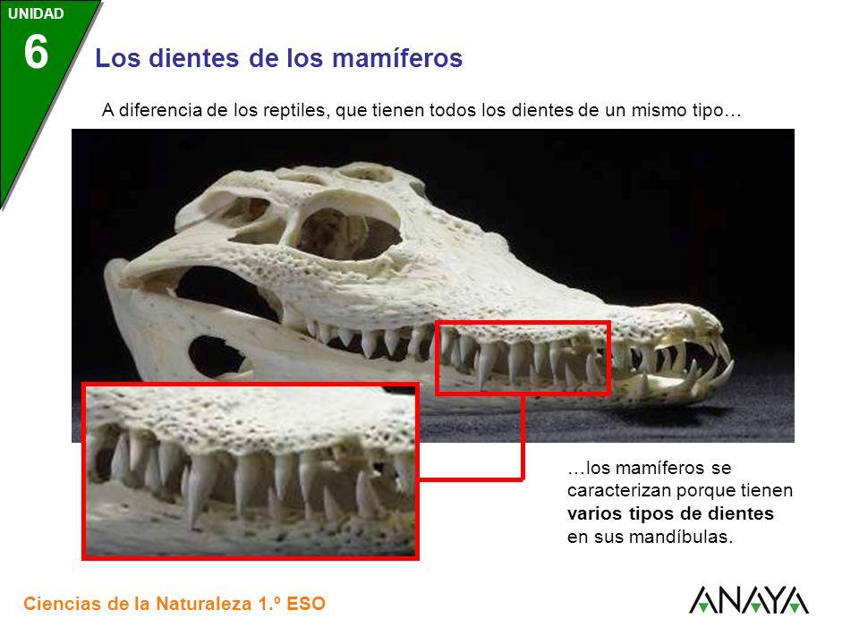 UNIDAD 3 Los dientes de los mamíferos Ciencias de la Naturaleza 1.º ESO UNIDAD 6 A diferencia de los reptiles, que tienen todos los dientes de un mism