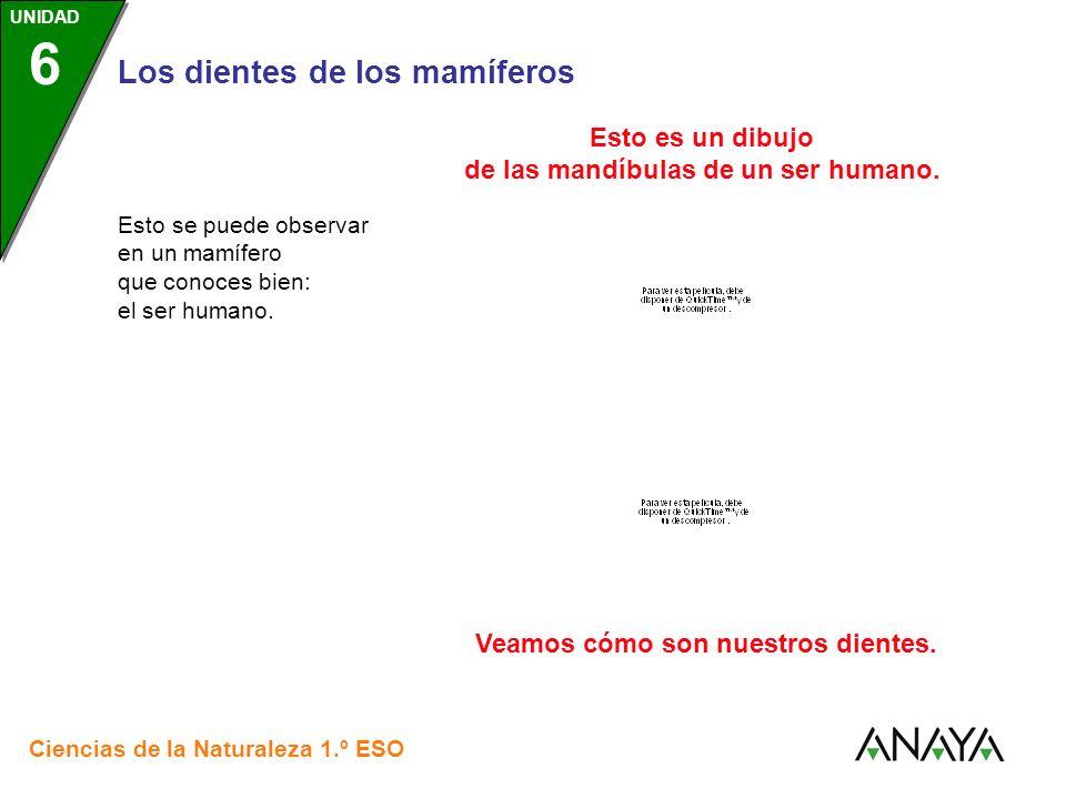 UNIDAD 3 Los dientes de los mamíferos Ciencias de la Naturaleza 1.º ESO UNIDAD 6 Esto se puede observar en un mamífero que conoces bien: el ser humano