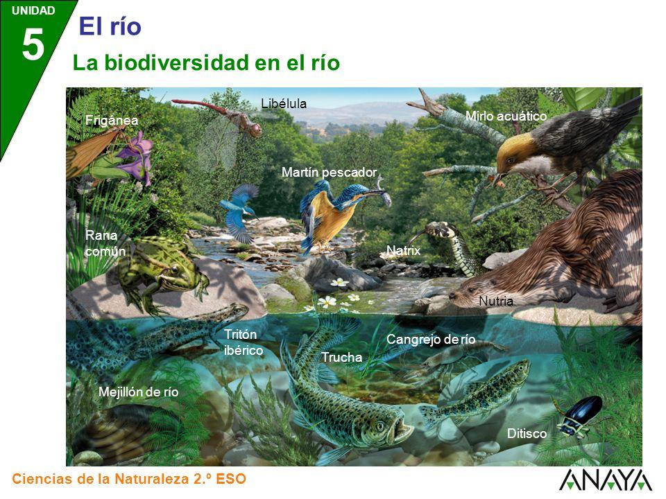 UNIDAD 5 Ciencias de la Naturaleza 2.º ESO El río La biodiversidad en el río Nutria Martín pescador Libélula Natrix Ditisco Trucha Mirlo acuático Mejillón de río Rana común Tritón ibérico Frigánea Cangrejo de río