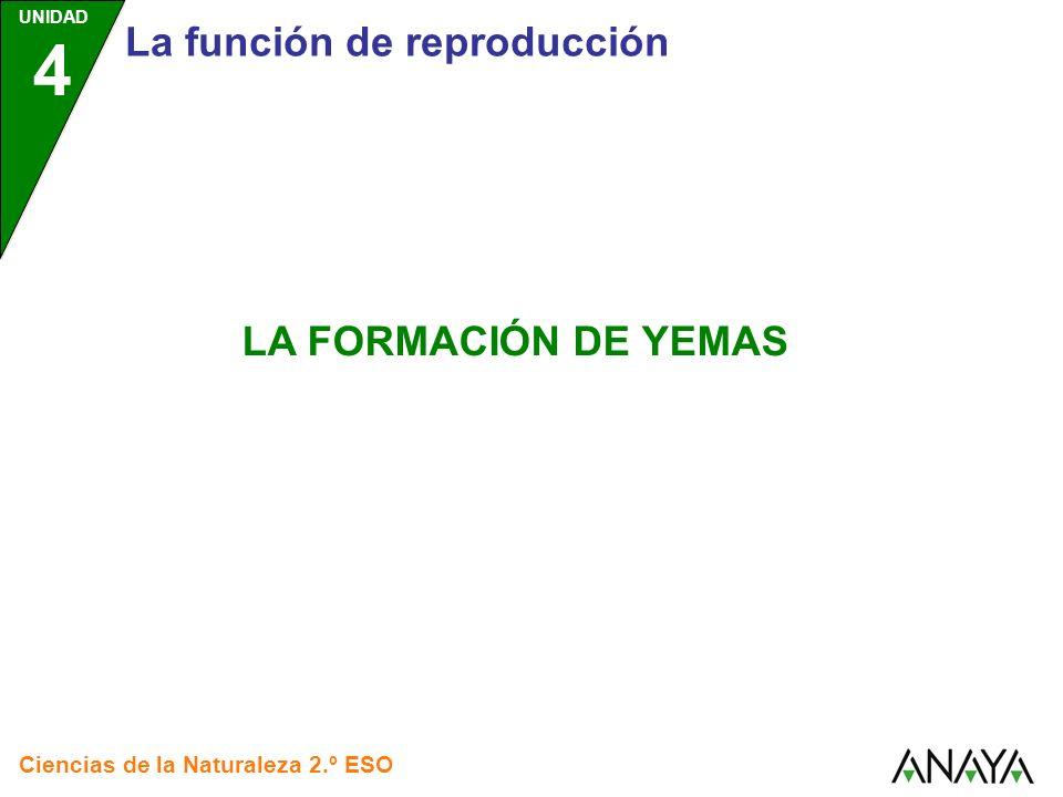 UNIDAD 4 La función de reproducción Ciencias de la Naturaleza 2.º ESO LA FORMACIÓN DE YEMAS