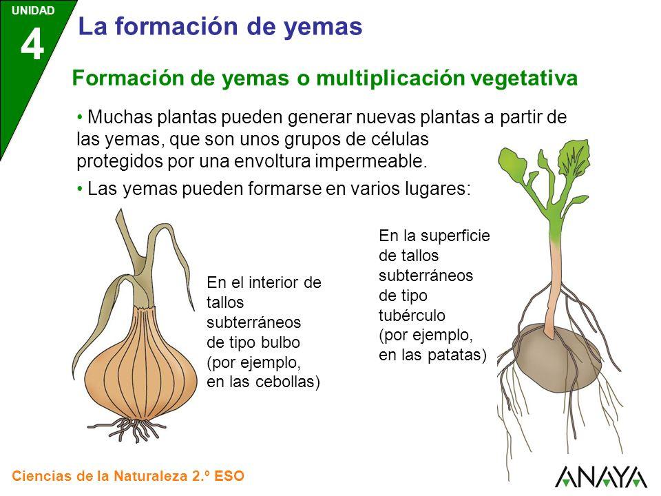 UNIDAD 4 Ciencias de la Naturaleza 2.º ESO La formación de yemas Muchas plantas pueden generar nuevas plantas a partir de las yemas, que son unos grup