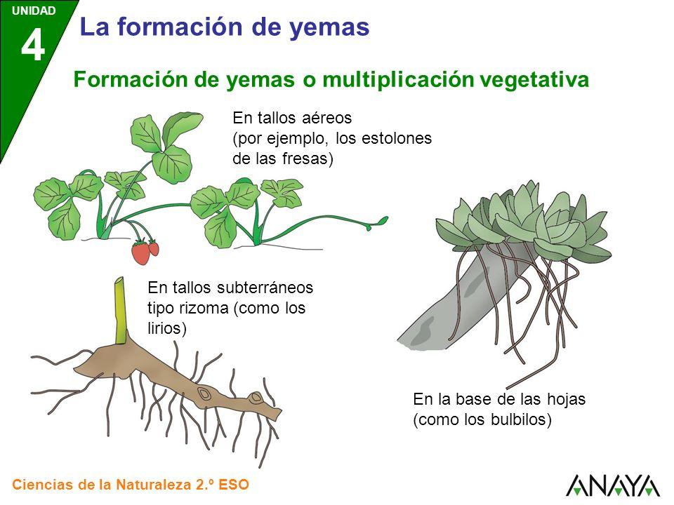 UNIDAD 4 Ciencias de la Naturaleza 2.º ESO La formación de yemas Formación de yemas o multiplicación vegetativa En tallos aéreos (por ejemplo, los est