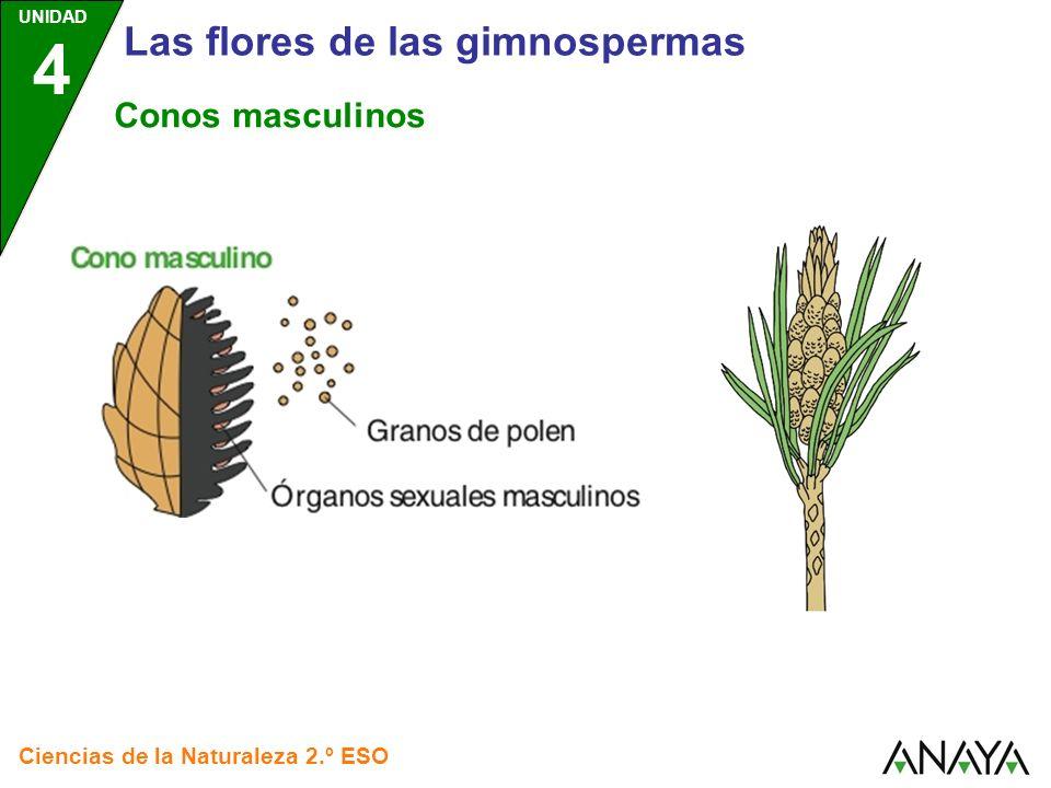 UNIDAD 4 Ciencias de la Naturaleza 2.º ESO Las flores de las gimnospermas Conos masculinos