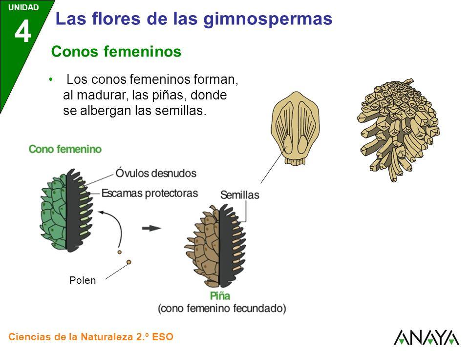 UNIDAD 4 Ciencias de la Naturaleza 2.º ESO Las flores de las gimnospermas Conos femeninos Polen Los conos femeninos forman, al madurar, las piñas, don
