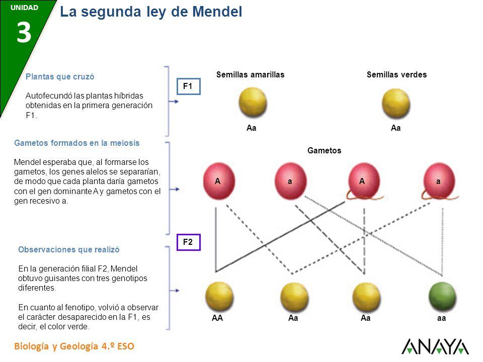 UNIDAD 7 Biología y Geología 4.º ESO La segunda ley de Mendel UNIDAD 3 El cuadro de Punnet para la segunda ley de Mendel F2 Al representar en el cuadro de Punnet los múltiples cruzamientos realizados en este experimento, se obtienen tres genotipos diferentes: AA, Aa y aa.