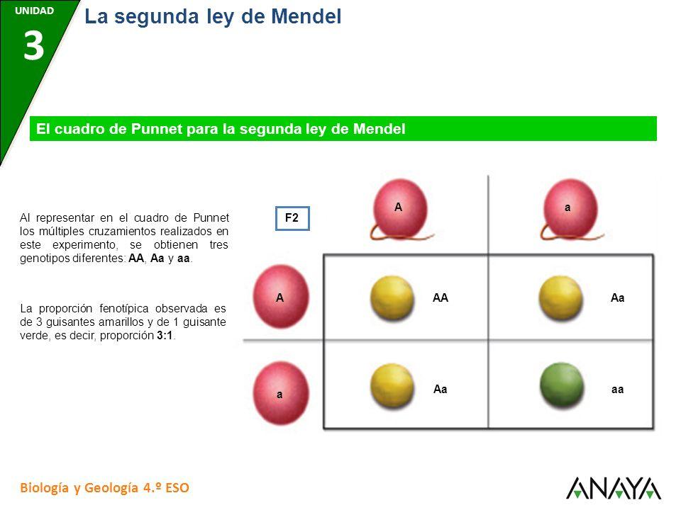 UNIDAD 7 Biología y Geología 4.º ESO La segunda ley de Mendel UNIDAD 3 El cuadro de Punnet para la segunda ley de Mendel F2 Al representar en el cuadr