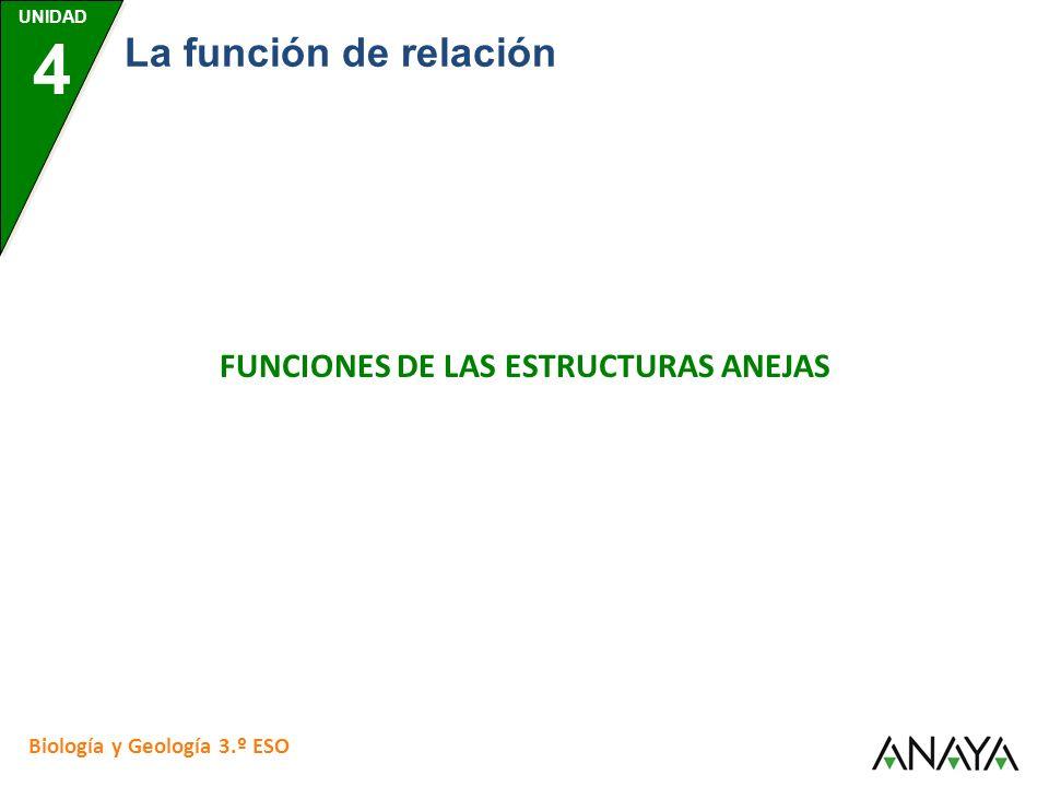 UNIDAD 4 Biología y Geología 3.º ESO La función de relación FUNCIONES DE LAS ESTRUCTURAS ANEJAS