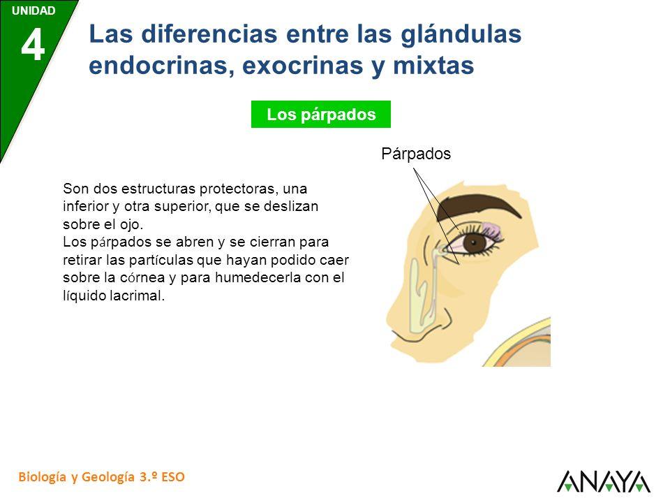 UNIDAD 4 Biología y Geología 3.º ESO Las diferencias entre las glándulas endocrinas, exocrinas y mixtas Los párpados Son dos estructuras protectoras,