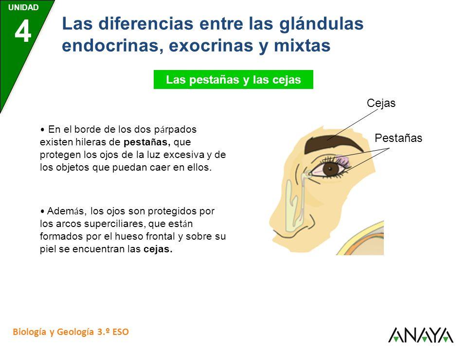 UNIDAD 4 Biología y Geología 3.º ESO Las diferencias entre las glándulas endocrinas, exocrinas y mixtas Las pestañas y las cejas Pestañas En el borde