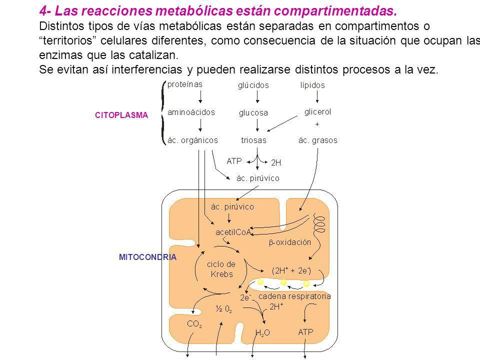4- Las reacciones metabólicas están compartimentadas. Distintos tipos de vías metabólicas están separadas en compartimentos o territorios celulares di