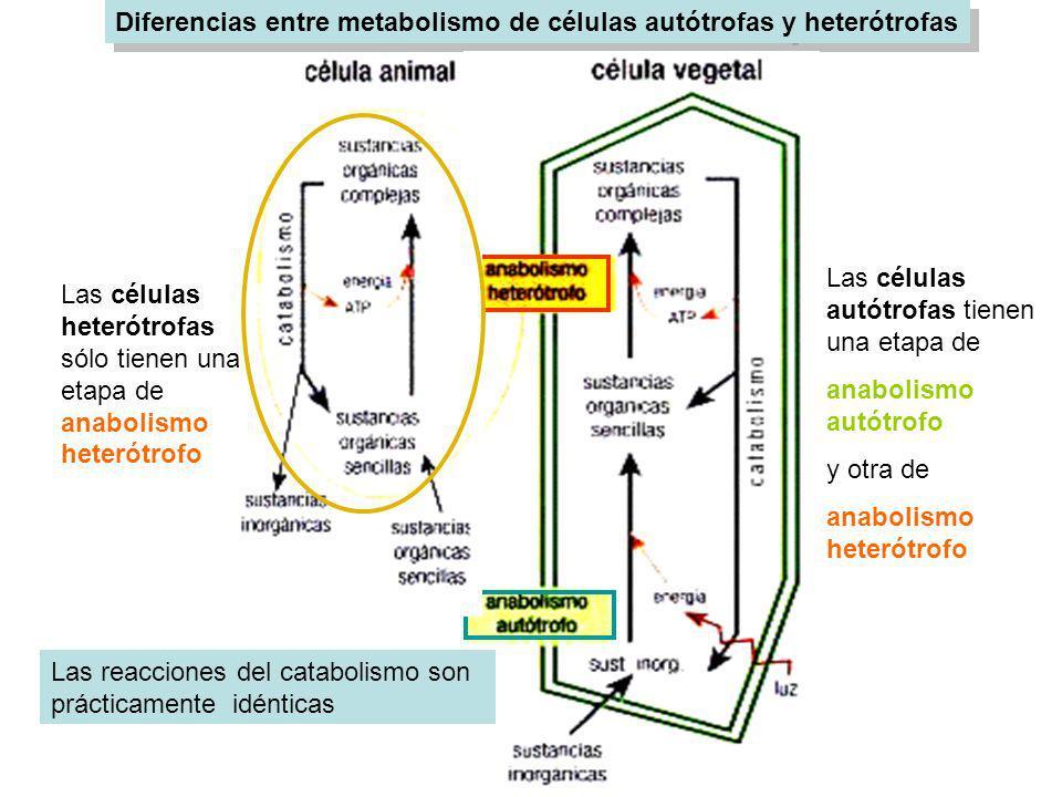 Diferencias entre metabolismo de células autótrofas y heterótrofas Las células autótrofas tienen una etapa de anabolismo autótrofo y otra de anabolism