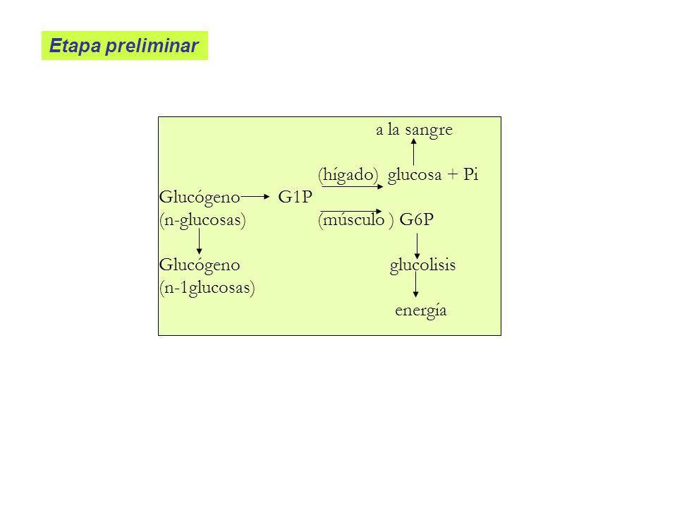 Etapa preliminar a la sangre (hígado) glucosa + Pi Glucógeno G1P (n-glucosas) (músculo ) G6P Glucógeno glucolisis (n-1glucosas) energía
