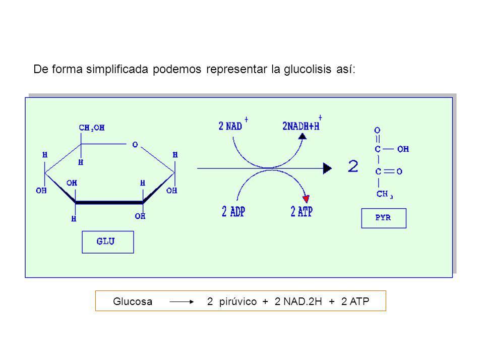 Glucosa2 pirúvico + 2 NAD.2H + 2 ATP De forma simplificada podemos representar la glucolisis así: