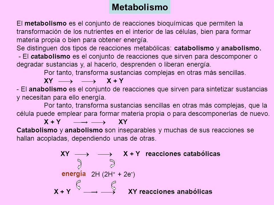 Metabolismo El metabolismo es el conjunto de reacciones bioquímicas que permiten la transformación de los nutrientes en el interior de las células, bi