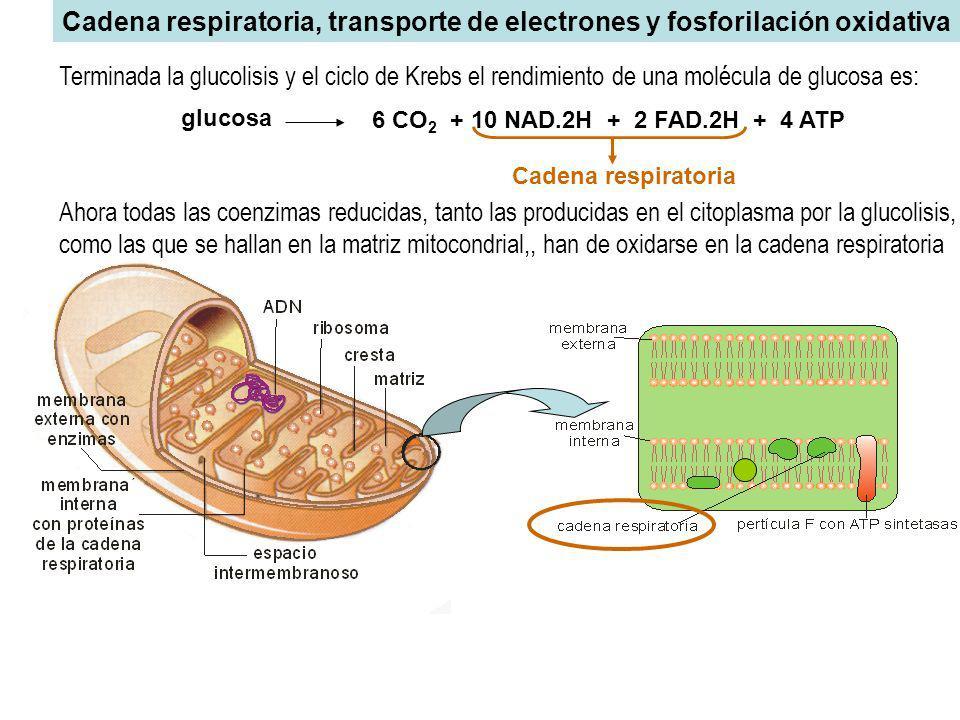 Cadena respiratoria, transporte de electrones y fosforilación oxidativa Ahora todas las coenzimas reducidas, tanto las producidas en el citoplasma por