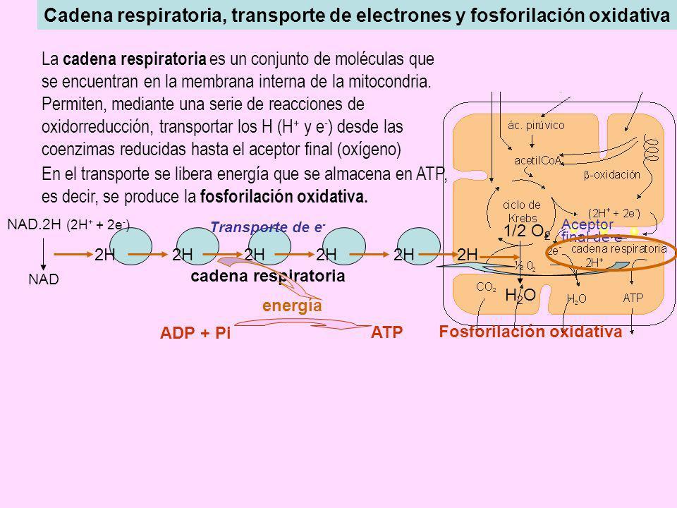 Cadena respiratoria, transporte de electrones y fosforilación oxidativa La cadena respiratoria es un conjunto de moléculas que se encuentran en la mem