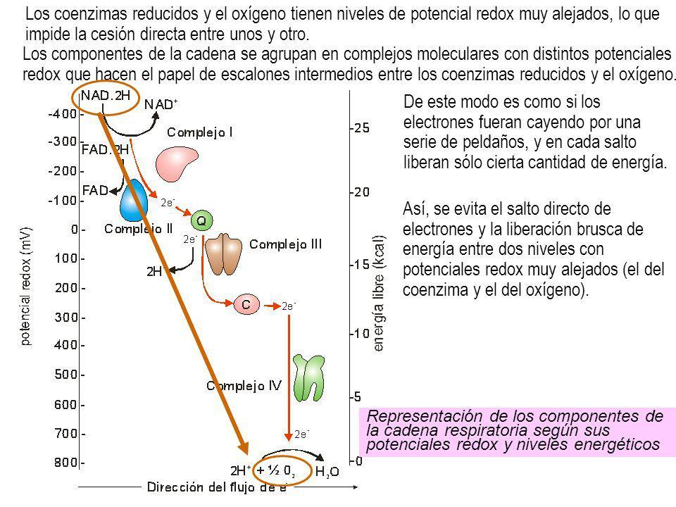 Así, se evita el salto directo de electrones y la liberación brusca de energía entre dos niveles con potenciales redox muy alejados (el del coenzima y