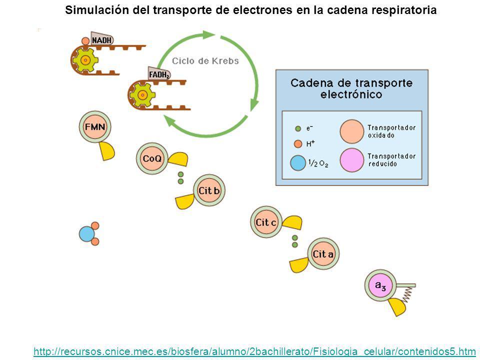 Simulación del transporte de electrones en la cadena respiratoria http://recursos.cnice.mec.es/biosfera/alumno/2bachillerato/Fisiologia_celular/conten