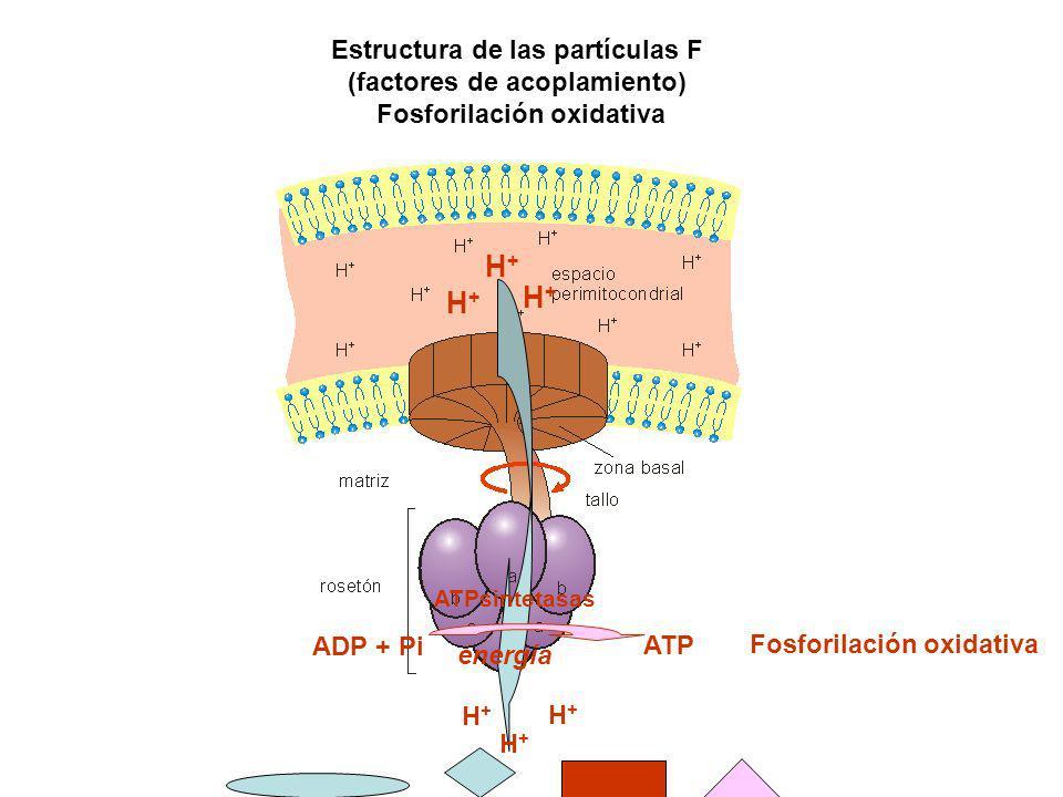 Estructura de las partículas F (factores de acoplamiento) Fosforilación oxidativa H+H+ H+H+ H+H+ H+H+ H+H+ H+H+ ATPsintetasas ADP + Pi ATP Fosforilaci