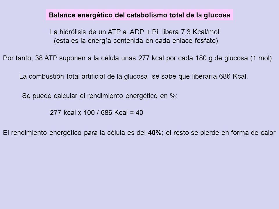 Balance energético del catabolismo total de la glucosa Por tanto, 38 ATP suponen a la célula unas 277 kcal por cada 180 g de glucosa (1 mol) La hidról