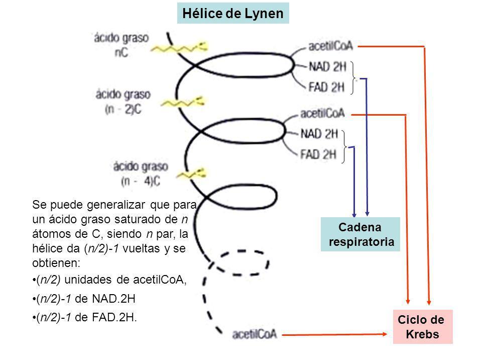 Ciclo de Krebs Cadena respiratoria Hélice de Lynen Se puede generalizar que para un ácido graso saturado de n átomos de C, siendo n par, la hélice da