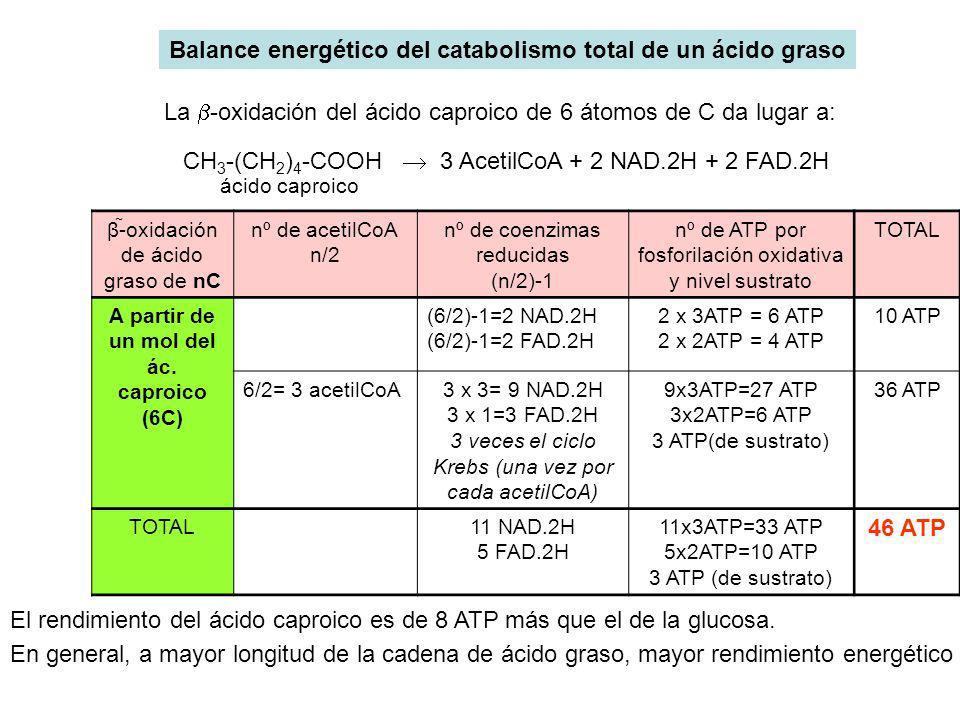 CH 3 -(CH 2 ) 4 -COOH 3 AcetilCoA + 2 NAD.2H + 2 FAD.2H Balance energético del catabolismo total de un ácido graso ácido caproico La -oxidación del ác