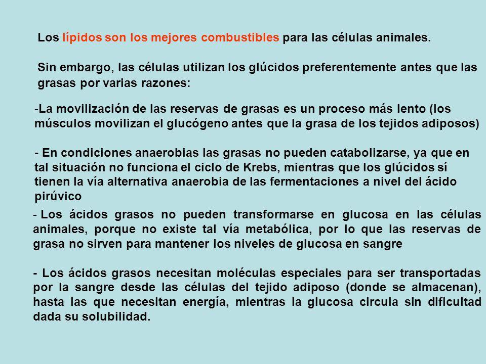 Sin embargo, las células utilizan los glúcidos preferentemente antes que las grasas por varias razones: -L-La movilización de las reservas de grasas e