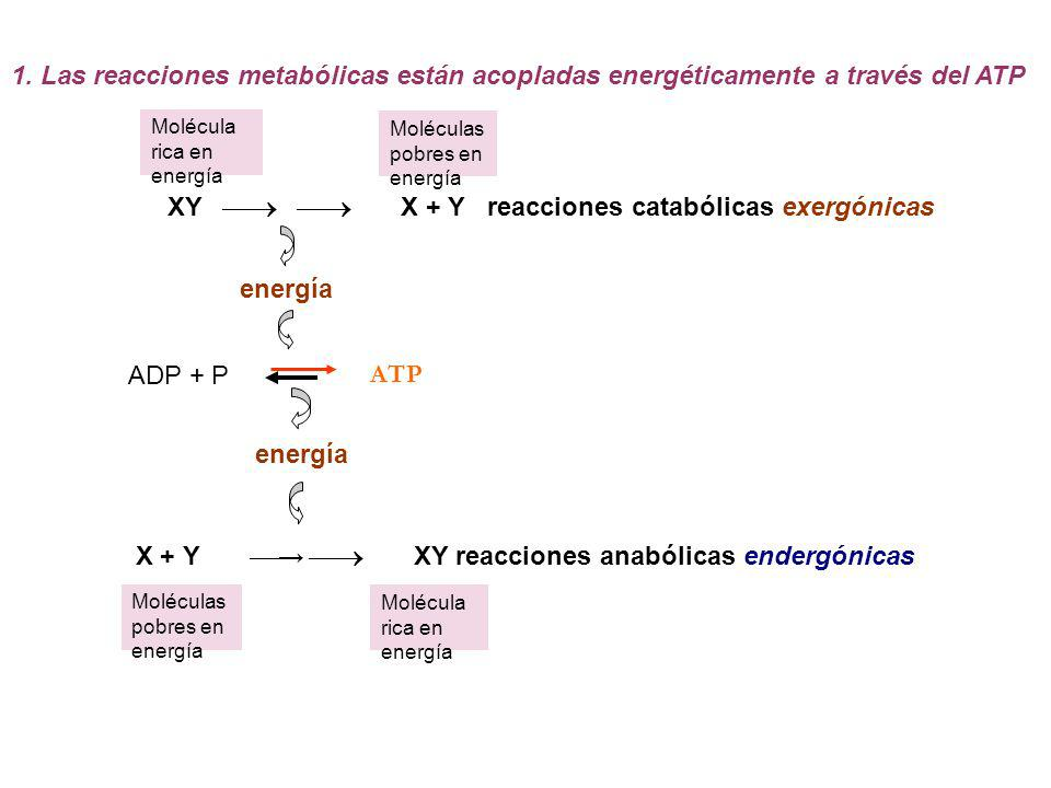 Molécula rica en energía Moléculas pobres en energía Molécula rica en energía 1. Las reacciones metabólicas están acopladas energéticamente a través d