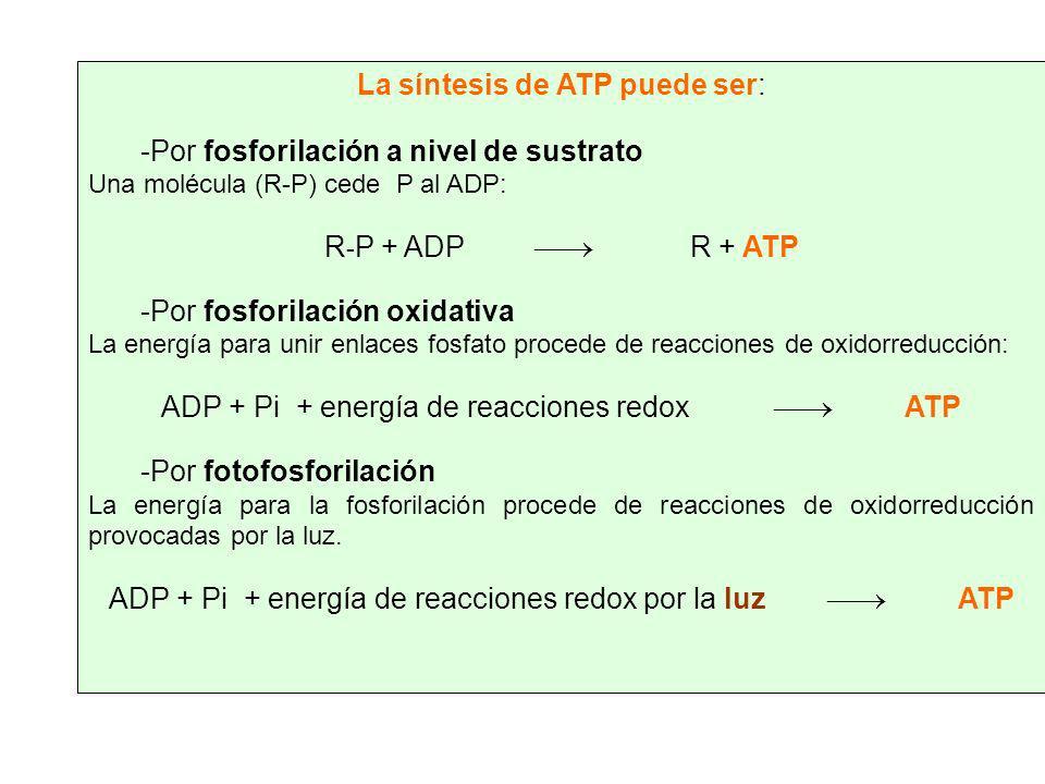 La síntesis de ATP puede ser: -P-Por fosforilación a nivel de sustrato Una molécula (R-P) cede P al ADP: R - P + ADP R + ATP -P-Por fosforilación oxid