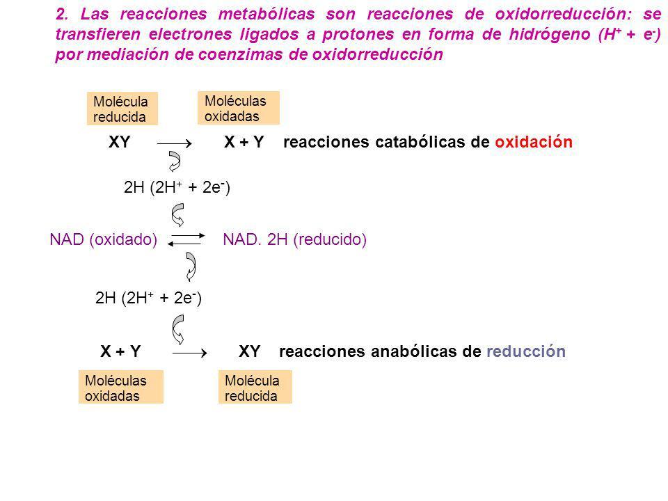 NAD. 2H (reducido) Molécula reducida Moléculas oxidadas Molécula reducida XY X + Y reacciones catabólicas de oxidación 2H (2H + + 2e - ) 2H (2H + + 2e