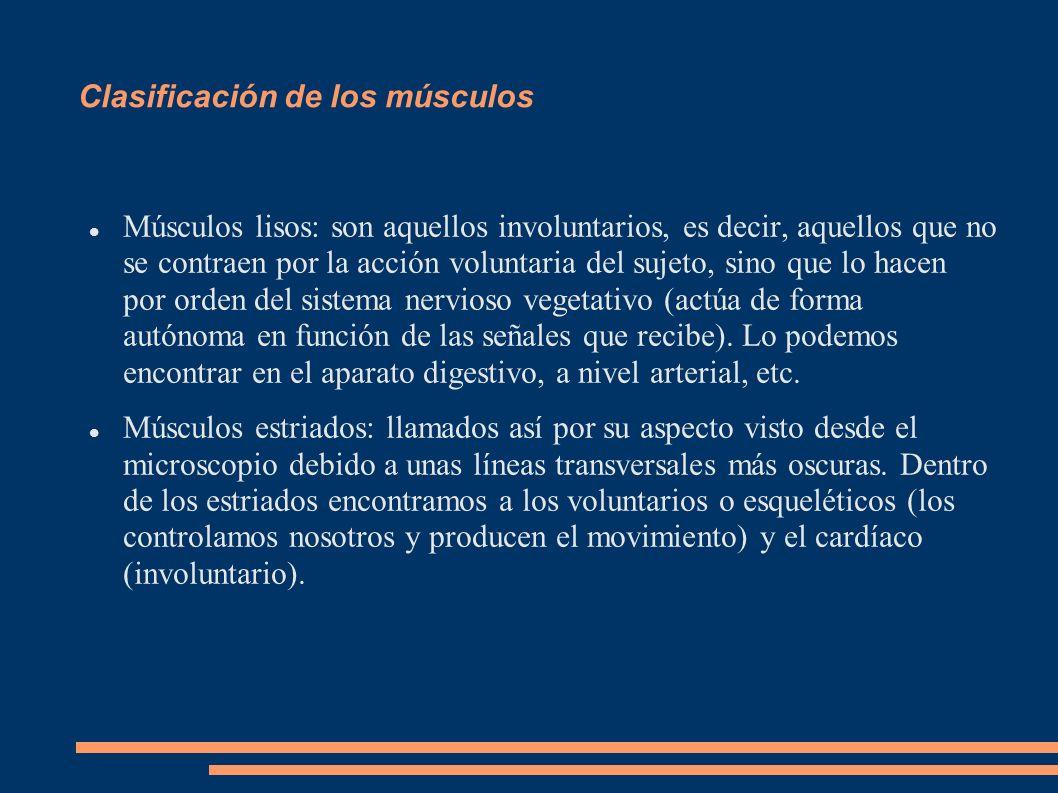 ESTRUCTURA Y FUNCIÓN DEL MÚSCULO ESTRIADO Visto con un corte transversal: El músculo está compuesto por miles de fibras o células musculares cilíndricas envueltas en el endomisio; organizadas en facículos de fibras y envueltas en perimisio; y a su vez estos fascículos se unen y envueltos por el epimisio o la fascia muscular forman el músculo.