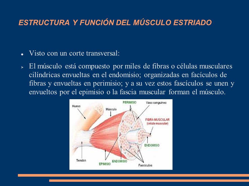SISTEMA MUSCULAR Y ADAPTACIÓN AL EJERCICIO FÍSICO Diferentes adaptaciones que se pueden producir en el sistema muscular en función de los diferentes estímulos que se le apliquen.