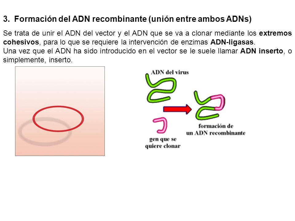 3.Formación del ADN recombinante (unión entre ambos ADNs) Se trata de unir el ADN del vector y el ADN que se va a clonar mediante los extremos cohesiv