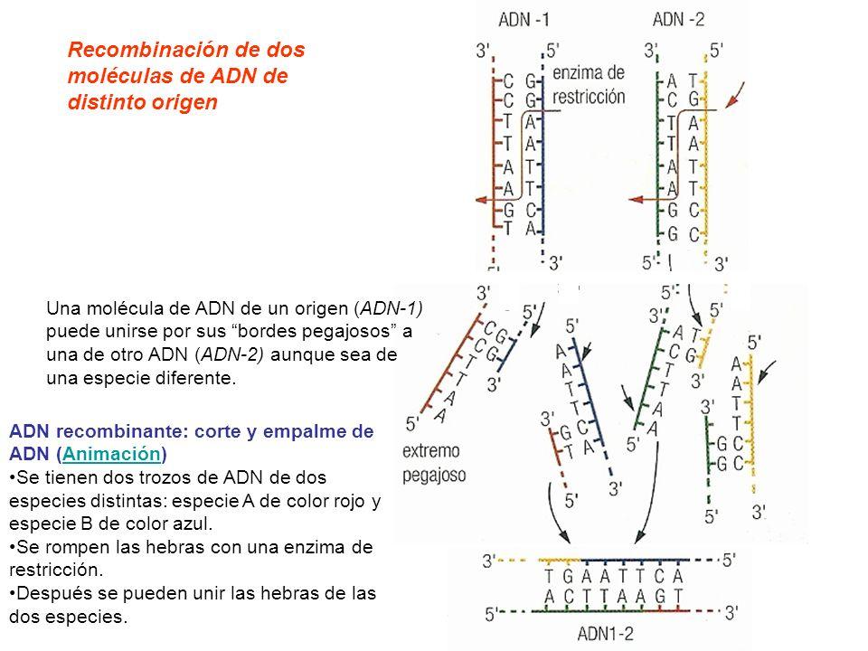 Una molécula de ADN de un origen (ADN-1) puede unirse por sus bordes pegajosos a una de otro ADN (ADN-2) aunque sea de una especie diferente. Recombin