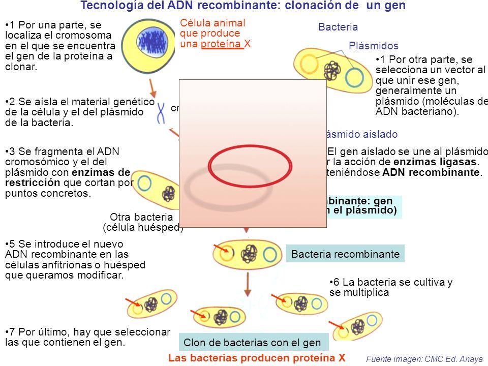 (ADN recombinante: gen insertado en el plásmido) Plásmido aislado Otra bacteria (célula huésped) Gen de la proteína X aislado Célula animal que produc