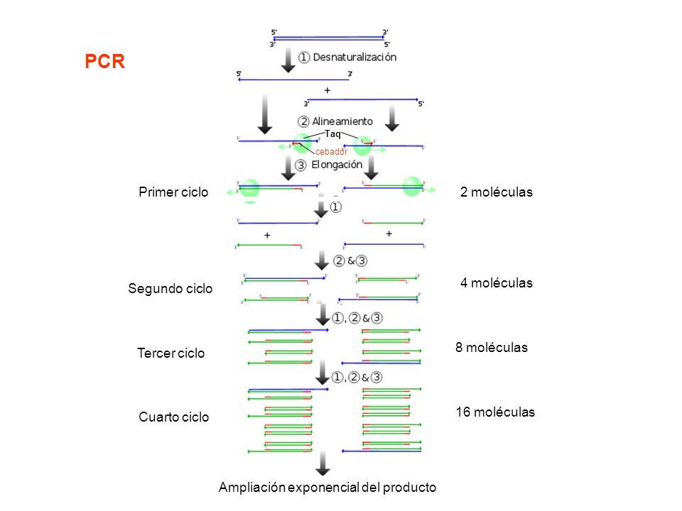 Primer ciclo2 moléculas Segundo ciclo 4 moléculas Tercer ciclo 8 moléculas Cuarto ciclo 16 moléculas cebador Taq Ampliación exponencial del producto