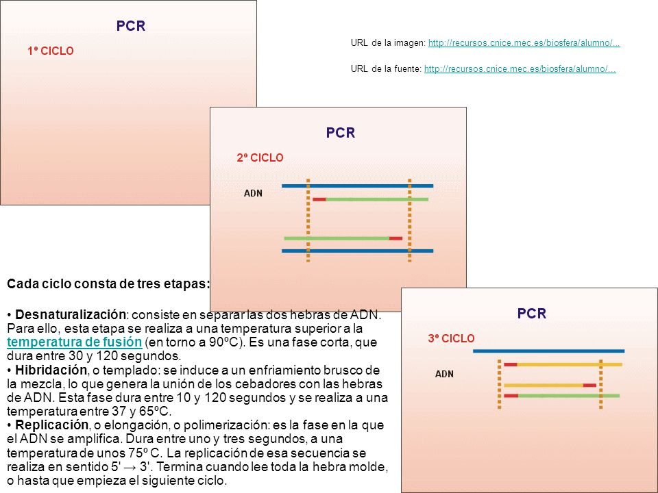 Desnaturalización: consiste en separar las dos hebras de ADN. Para ello, esta etapa se realiza a una temperatura superior a la temperatura de fusión (